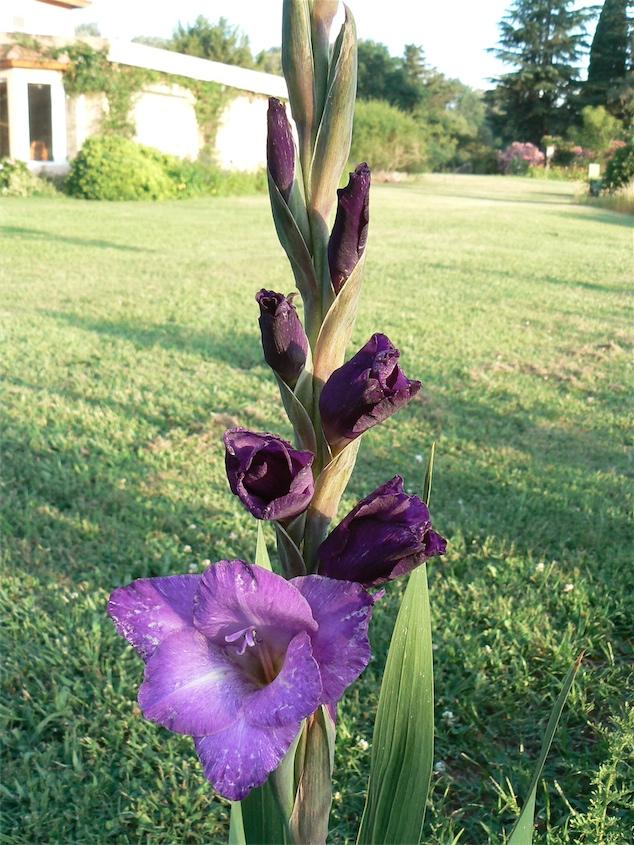 Cormo de Gladiolus